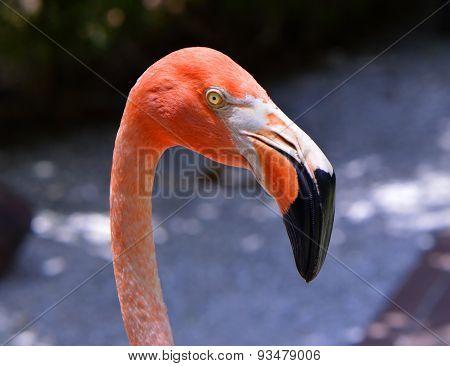 Caribbean flamingos Latin name Phoenicopterus ruber