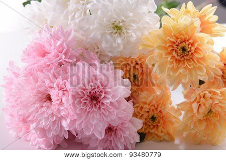 Colorful chrysanthemum close up