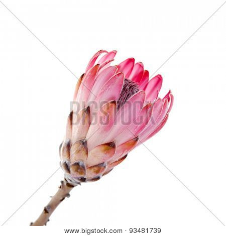 Single King Protea flower isolated on white