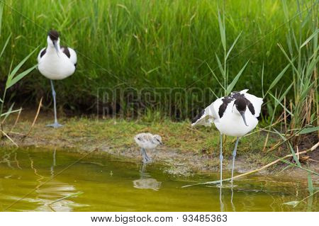 Pied avocet wading in water with juvenile