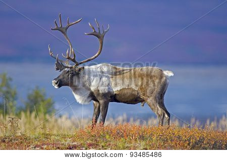Male Caribou Grazing