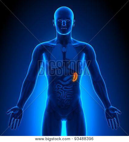 Medical Imaging - Male Organs - Spleen