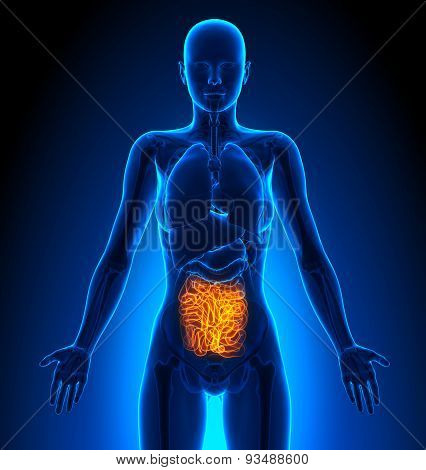 Small Intestine - Female Organs - Human Anatomy