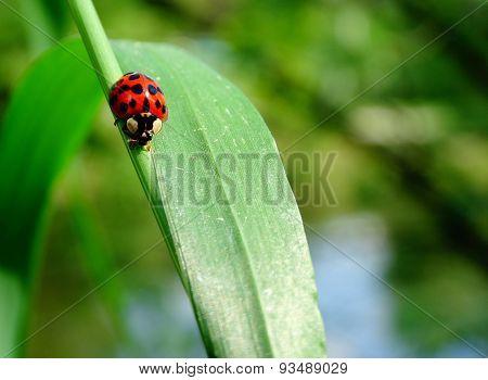 Ladybird on a green grass