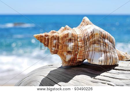 closeup of a conch on an old washed-out tree trunk in the beach, with a bright blue sea in the background