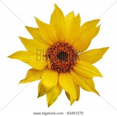sunflower, vector