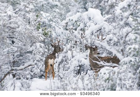 Arizona Mule Deers In Winter