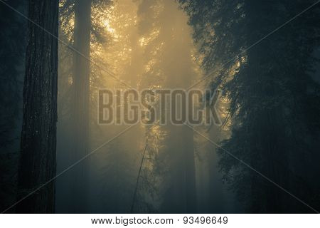 Fog In Redwood Forest