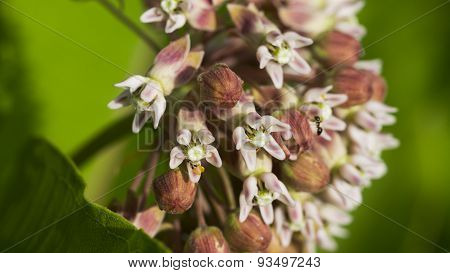 Common Milkweed. Asclepias Syriaca. Pink Blooms and Buds.