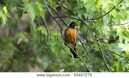 American Robin in Silver Maple Tree Branches.