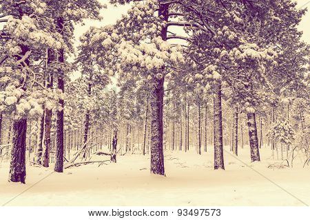 Winter Forest Vista