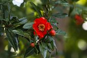 stock photo of pomegranate  - Pomegranate tree flowers. Garnet red flowers on a pomegranate tree. Pomegranate tree with green leafy background. ** Note: Visible grain at 100%, best at smaller sizes - JPG