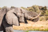 foto of saharan  - A portrait of an elephant while drinking water with it - JPG