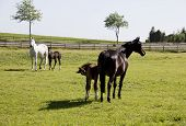 stock photo of foal  - two Holsteiner mares with young foals in a pasture - JPG