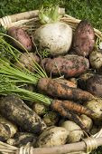image of turnips  - Muddy home grown red and white potatoes - JPG