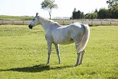 foto of pastures  - a white old Holsteiner mare standing on a pasture - JPG