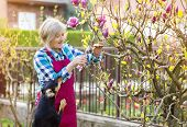 picture of prunes  - Woman pruning magnolia tree branches in her garden - JPG