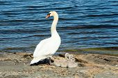 foto of shoreline  - One adult mute swan with three small chicks on rock at the shoreline - JPG
