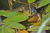 pic of amphibious  - A green frog - JPG