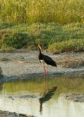 stock photo of stork  - Adult Black Stork in late afternoon sunlight on Lesvos