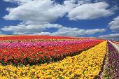 image of buttercup  - Huge fields of garden buttercups  - JPG