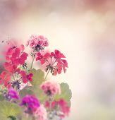 stock photo of geranium  - Red And Pink Geranium Flowers - JPG