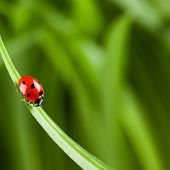 stock photo of ladybug  - Ladybug running along on blade of  green grass - JPG