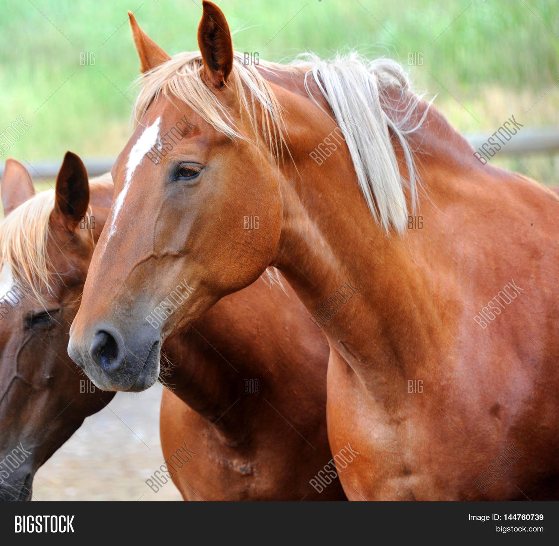 Closeup Chestnut Colored Horse Image & Photo   Bigstock - photo#48