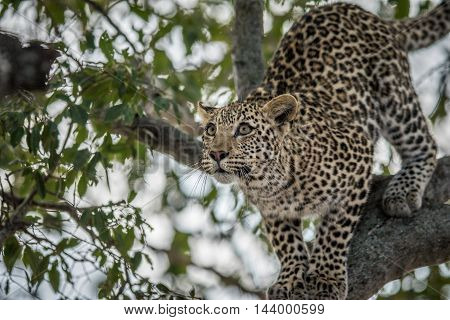 Leopard Looking Up In A Tree In The Kruger.
