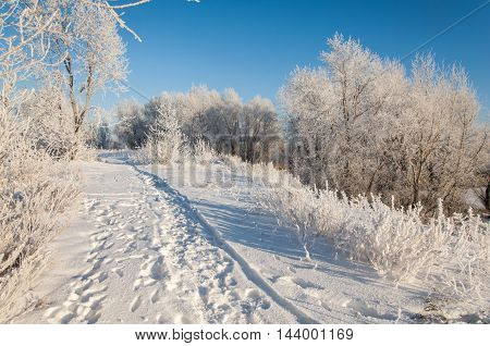 Trees Covered With Rime
