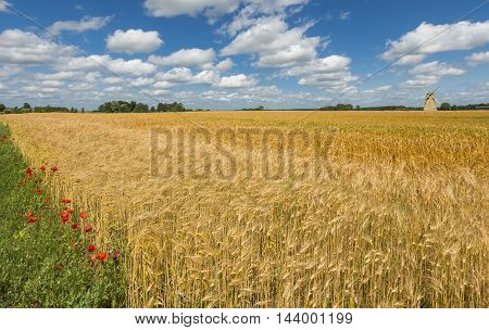 Summer field with ripening wheat and windmill on background