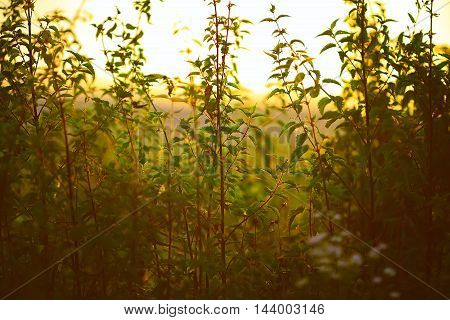 Nettle plant against the light in the sunset light. Sunset on meadow