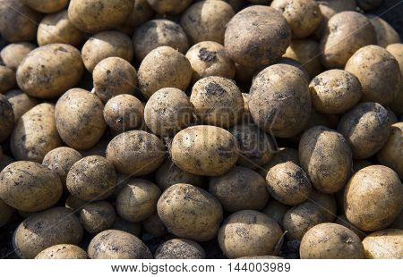 Harvesting potatoes. Agriculture concept. Close up of fresh organic potatoes in the field