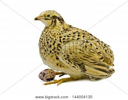 Laying hen of domesticated yellow quail with egg isolated on white background.  Domesticated quails are important agriculture poultry