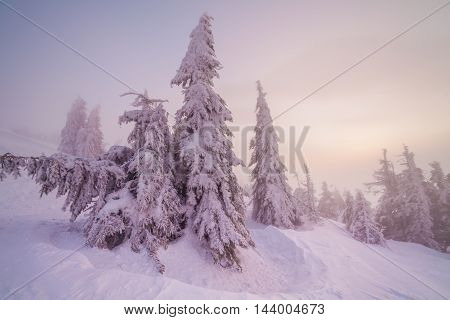 Christmas background with snowy fir trees. wintertime