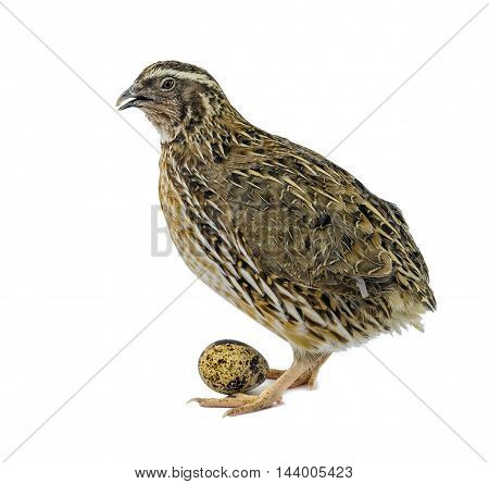 Laying hen of domesticated quail with egg isolated on white background