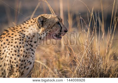 Starring Cheetah With A Bloody Face In The Kruger.