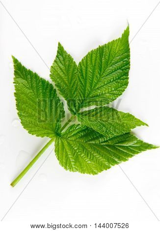Green raspberry leaf closeup, top view isolated on white background