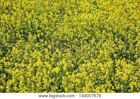 yellow rape flowers field, closeup view