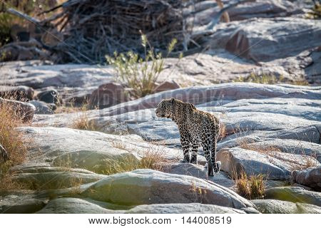 Leopard On Rocks In A Riverbed In Kruger.