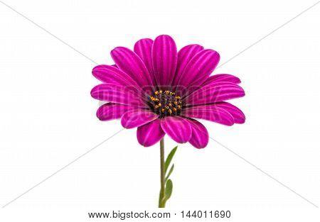 A violet Pink Osteosperumum Flower Daisy White Background. Macro Closeup