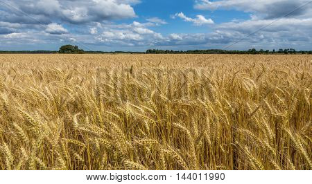 Field with ripening wheat. Photo was taken in one of the ecologically cleanest region of Europe