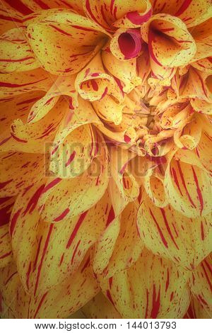 Yellow with red strip flower petals close up and macro of chrysanthemum beautiful abstract background.