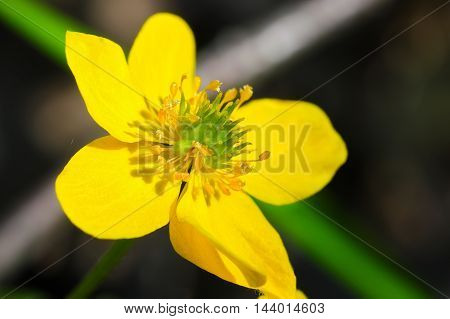 Meadow Buttercup close-up of flower. Shallow depth of field