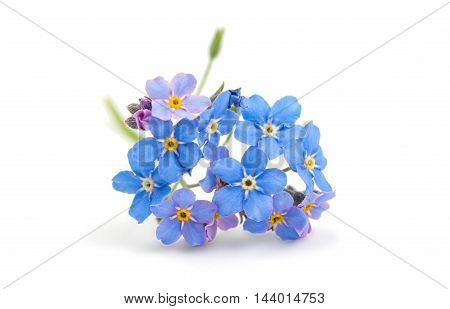 blue fresh  floral nature forget-me-a white background