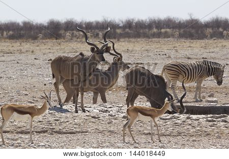 A herd of Male Kudu at a waterhole with zebra and springbok in Etosha national park
