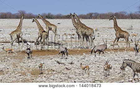 A vibrant waterhole in Etosha national park with giraffe, zebra springbok and oryx