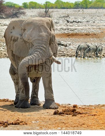 A large elephant standing with his trunk bent resting on his tusk with zebra at a waterhole in the background