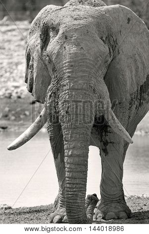 elephant with large tusks in monochrome standing on the African plains