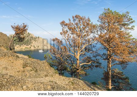 Rare pine on the steep rocky shore of Baikal lake suffered from the fire last year and now stand with a red pine.